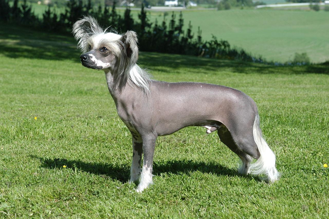 5. Китайская хохлатая собака