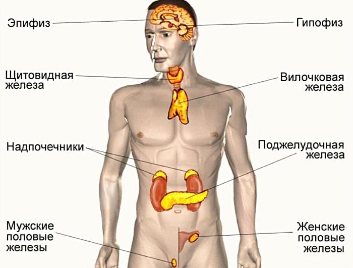 Endokrinnyie-zhelezyi
