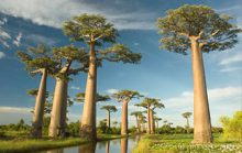 17 интересных фактов о баобабах