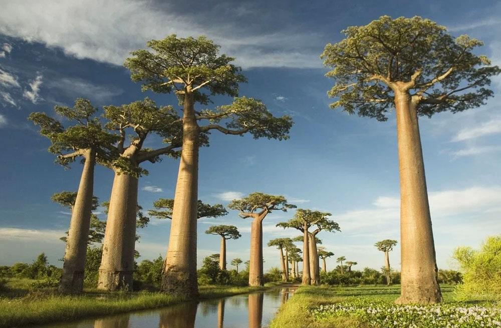 Interesnye-fakt-o-baobabah