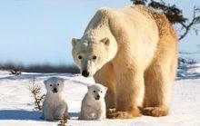 18 интересных фактов о белом медведе