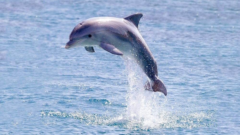 Interesnye-fakty-o-delfinah