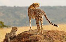 25 интересных факта о гепардах