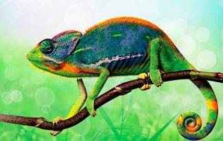 16 интересных фактов о хамелеонах