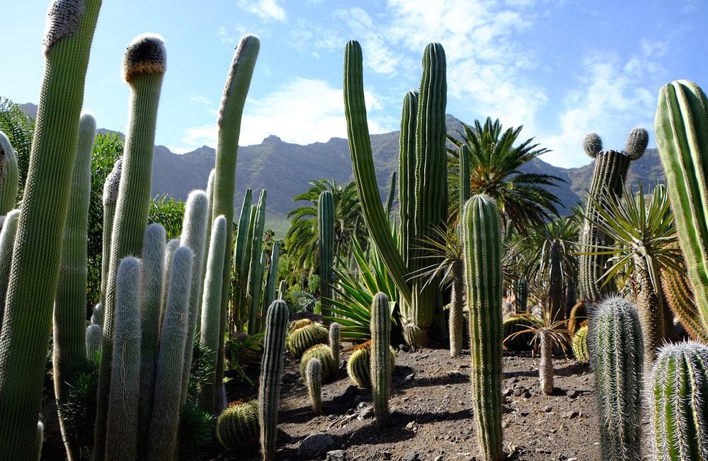 Interesnye-fakty-o-kaktusah
