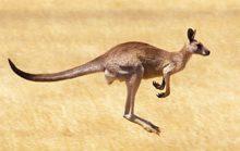 20 интересных фактов о кенгуру