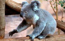 22 интересных факта о коалах