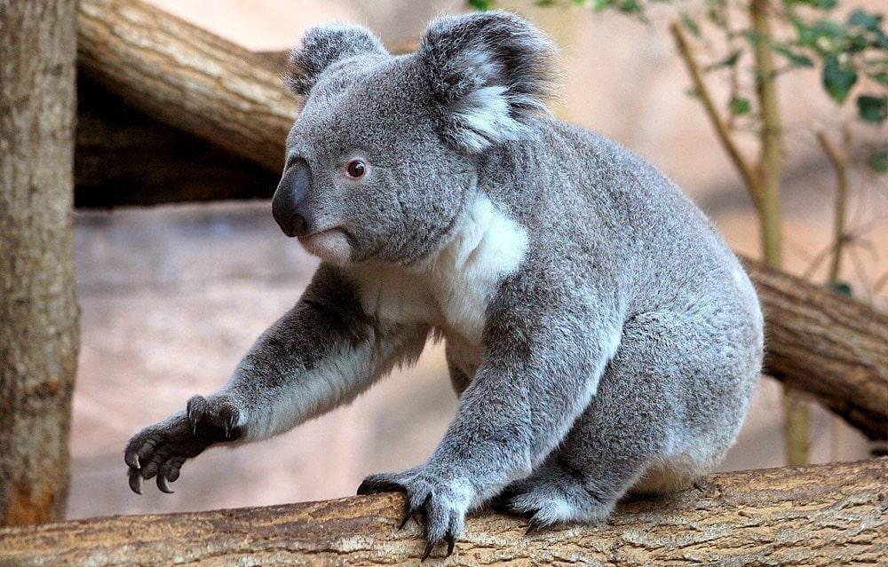 Interesnye-fakty-o-koalah