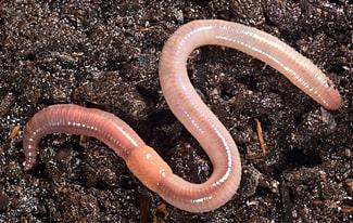 16 интересных фактов о кольчатых червях