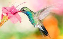 16 интересных фактов о колибри