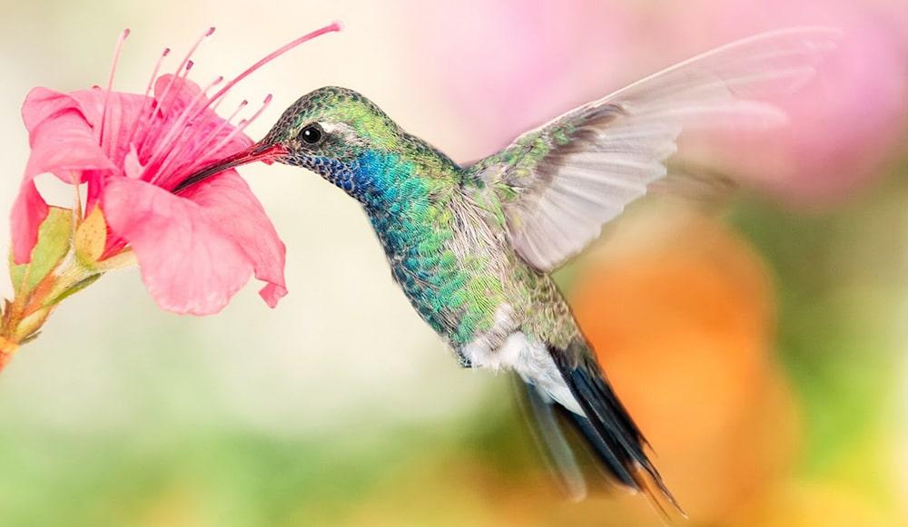 Interesnye-fakty-o-kolibri