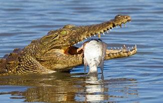 28 интересных фактов о крокодилах