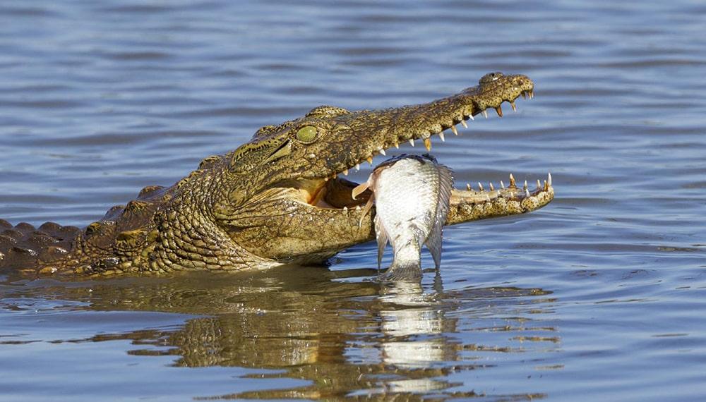 Interesnye-fakty-o-krokodilah