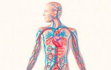 24 интересных факта о кровеносной системе