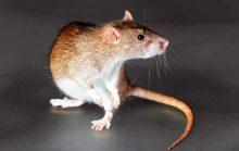 27 интересных фактов о крысах