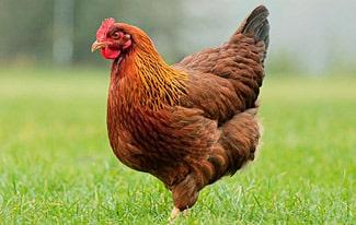 16 интересных фактов о курице
