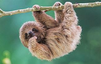 15 интересных фактов о ленивцах