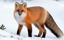 14 интересных фактов о лисах