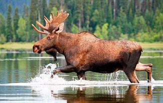 24 интересных факта о лосях