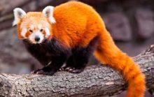 12 интересных фактов о малой панде