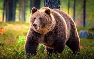 18 интересных фактов о медведях