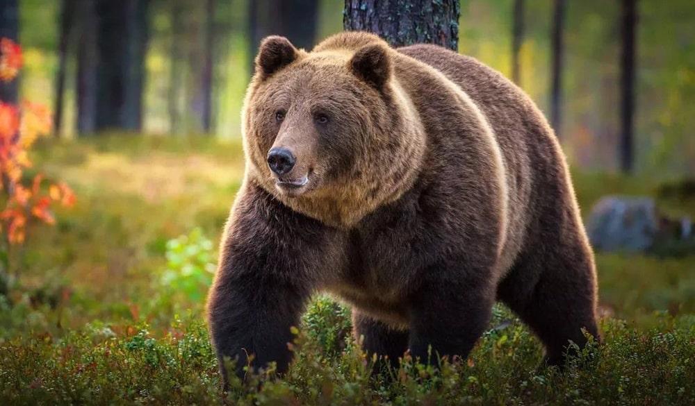 Interesnye-fakty-o-medvedyah