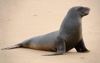 17 интересных фактов о морских львах