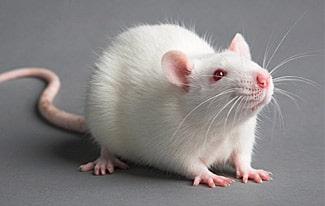14 интересных фактов о мышах