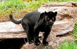 15 интересных фактов о черной пантере