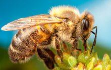 24 интересных факта о пчелах