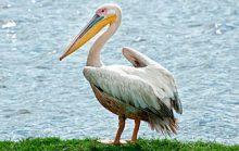 22 интересных факта о пеликанах