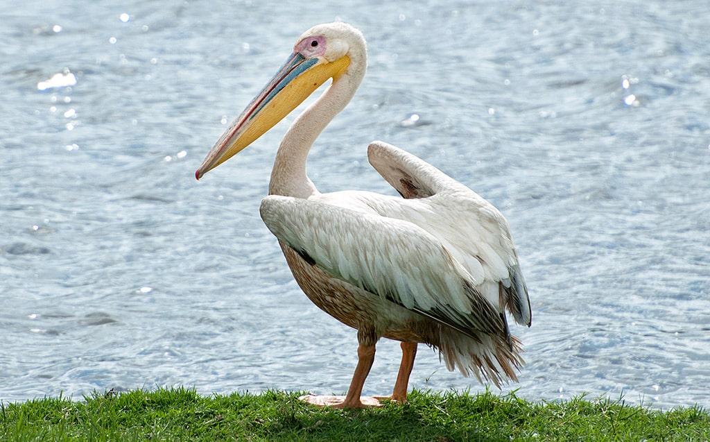 Interesnye-fakty-o-pelikanah