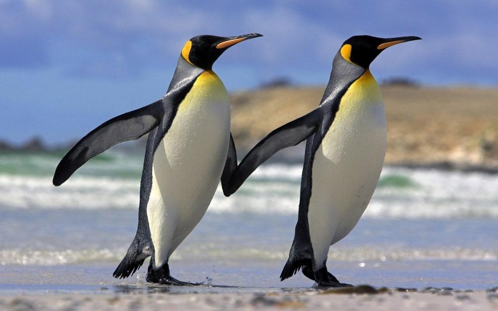 Interesnye-fakty-o-pingvinah