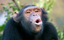 12 интересных фактов о шимпанзе