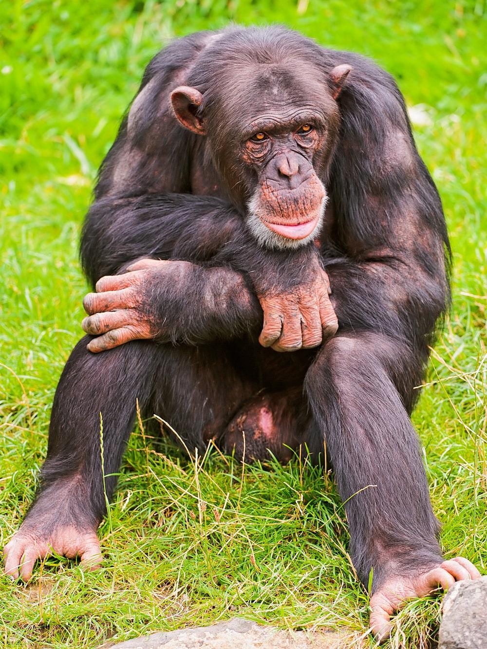Interesnye-fakty-o-shimpanze