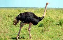 16 интересных фактов о страусах
