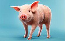 22 интересных факта о свиньях