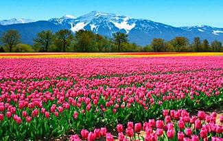 16 интересных фактов о тюльпанах