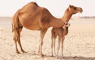 29 интересных фактов о верблюдах