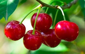 16 интересных фактов о вишне