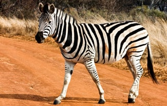 25 интересных фактов о зебрах