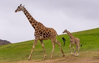 22 интересных факта о жирафах