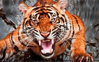 17 интересных фактов об амурском тигре