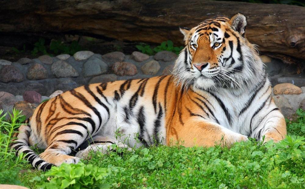 Interesnye-fakty-ob-amurskom-tigre