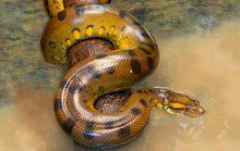 18 интересных фактов об анакондах