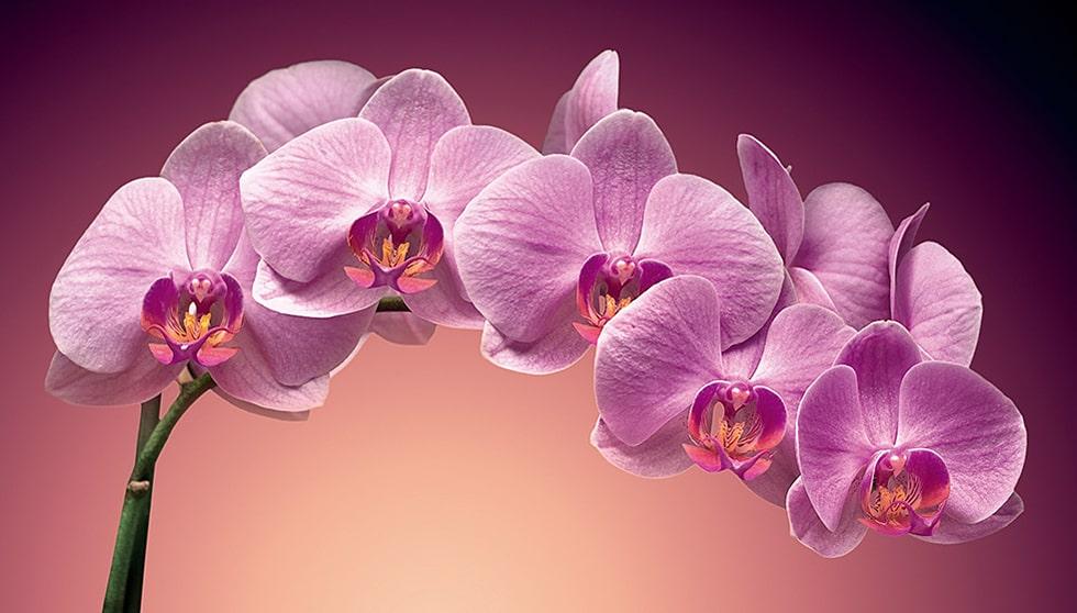 Interesnye-fakty-ob-orhideyah