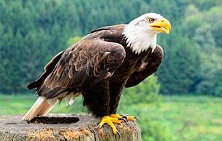 21 интересный факт об орлах