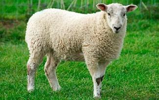 16 интересных фактов об овцах