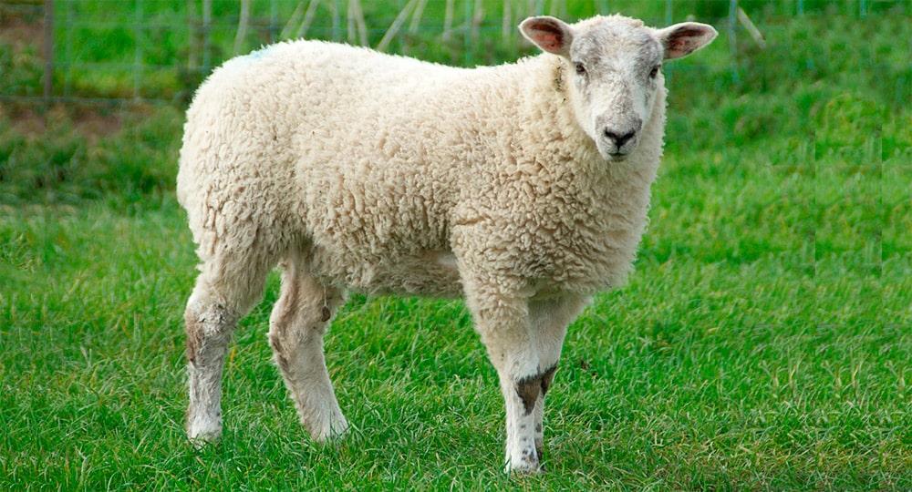 Interesnye-fakty-ob-ovczah