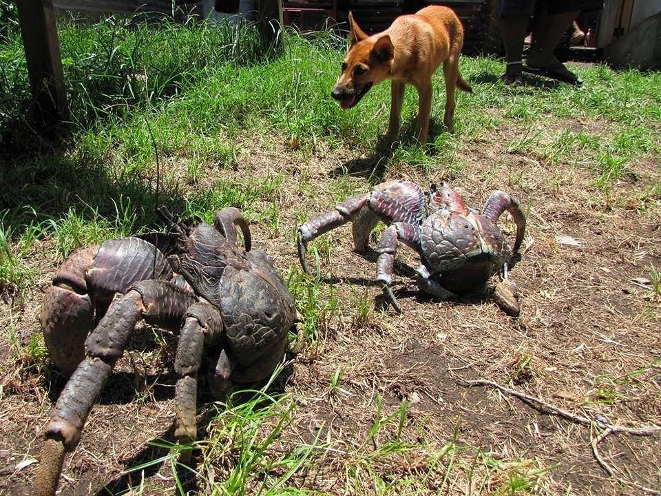 Kokosovyie-krabyi-kotoryie-po-razmeru-sopostavimyi-s-sobakoy